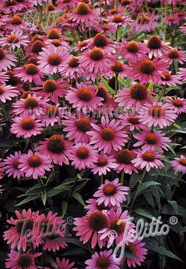 jelitto perennial seed echinacea purpurea 39 magnus. Black Bedroom Furniture Sets. Home Design Ideas