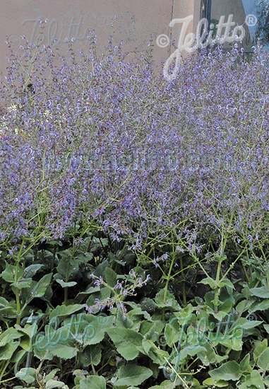 Jelitto Perennial Seed | SALVIA cyanescens Portion(s)
