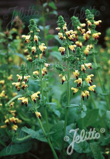 Jelitto Perennial Seed Salvia Bulleyana Portion S