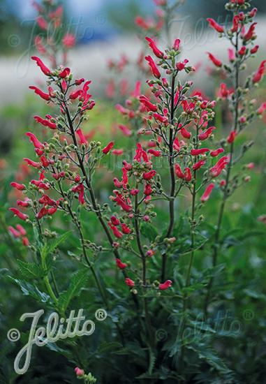 Jelitto Perennial Seed Scrophularia Macrantha Portion S