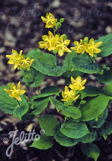 jelitto perennial seed tricyrtis latifolia portions