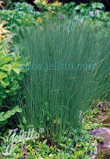 Jelitto Perennial Seed Juncus Inflexus Portion S