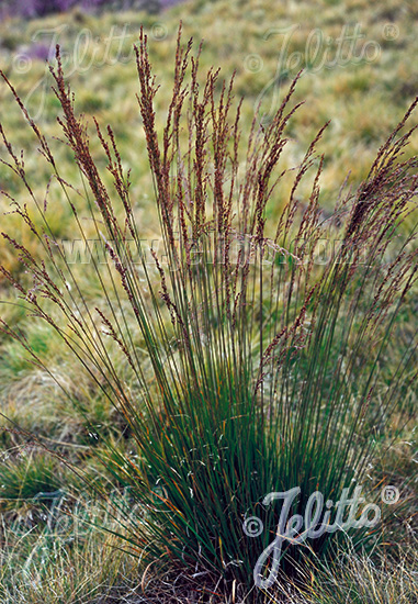 Molinia Caerulea Seeds Ornamental Grass Seed