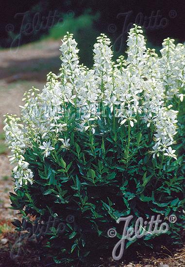 Jelitto Perennial Seed Dictamnus Albus Var Albiflorus