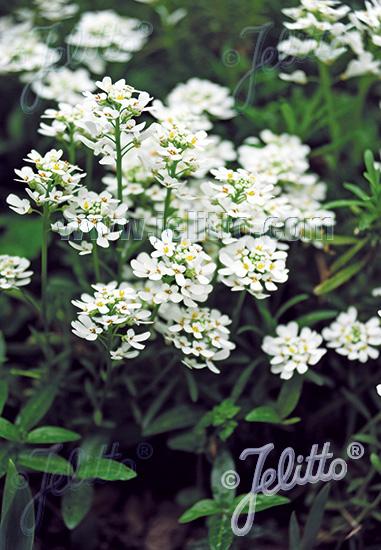 Iberis sempervirens Tahoe     250 seeds