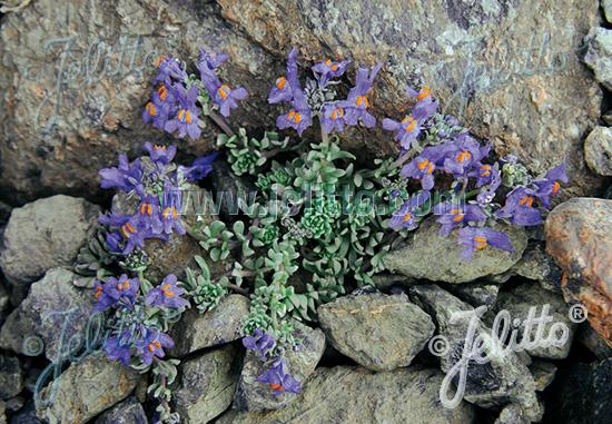 Jelitto Perennial Seed   LINARIA alpina Portion(s)