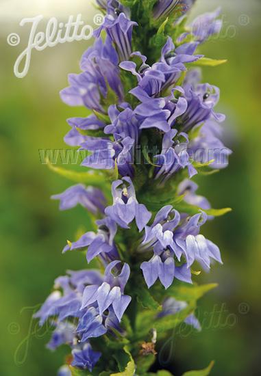 Jelitto Perennial Seed Lobelia Siphilitica Blue Selection Portions