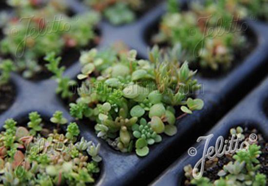 Jelitto Perennial Seed Sedum Mix England South