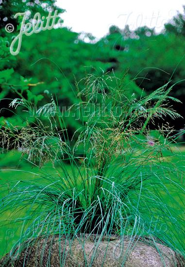 Blaues Liebesgras Wind Dancer Eragrostis elliottii