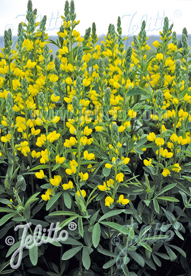 Jelitto Perennial Seed Thermopsis Chinensis Seeds