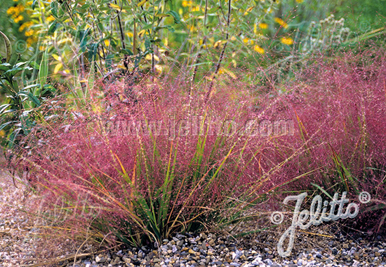 eragrostis spectabilis images galleries with a bite. Black Bedroom Furniture Sets. Home Design Ideas