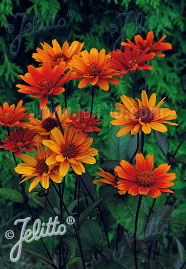 Jelitto Perennial Seed Heliopsis Helianthoides Var