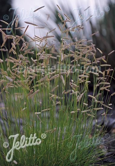 jelitto perennial seed