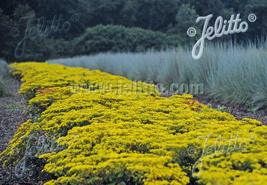 Jelitto Perennial Seed Eriogonum Allenii Little Rascal Portion S