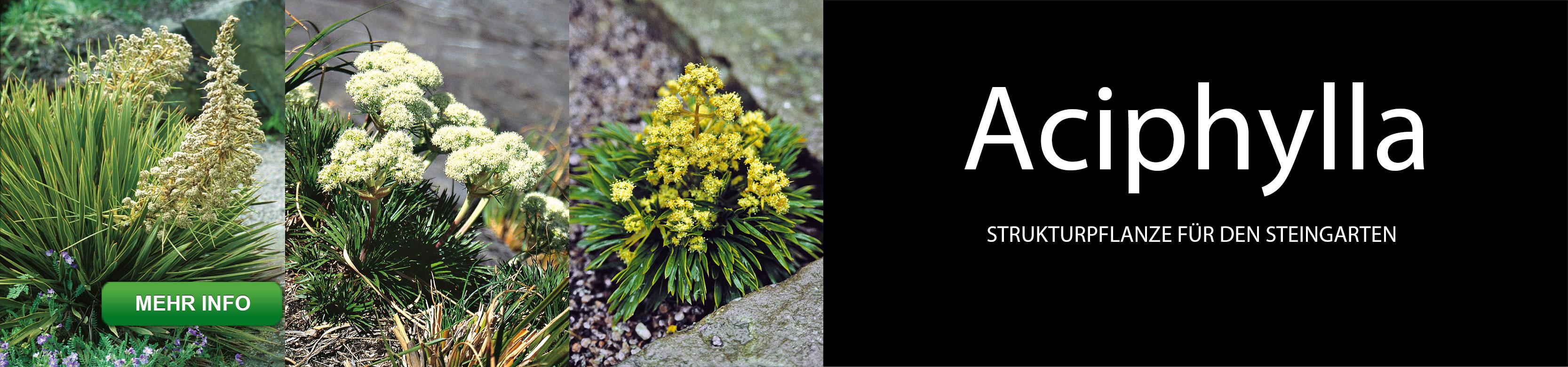 Slider Aciphylla