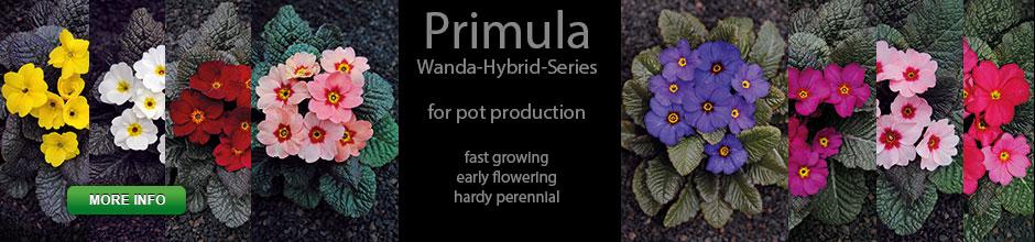 Slider Primula Wanda